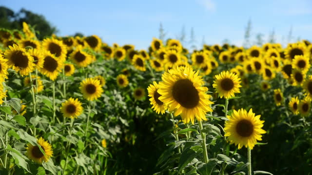 fade in shot of sunflowers growing on field against sky during sunny day - fade in video transition stock videos & royalty-free footage