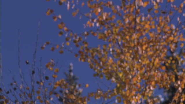 fade in to evergreen tree behind some aspen trees - fade in stock videos & royalty-free footage