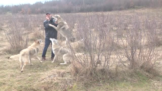 Fadil Ismaili feeds wolfs with sausages in Sar Mountain Tetovo Macedonia on February 18 2017 Fadil Ismaili who has a strong liking for wolves since...
