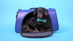 Fair blue dog carry bag to where coming cute black and tan dachshund with turquoise bow tie, going inside and peeking out there, finally running out. Travelling with pets concept.