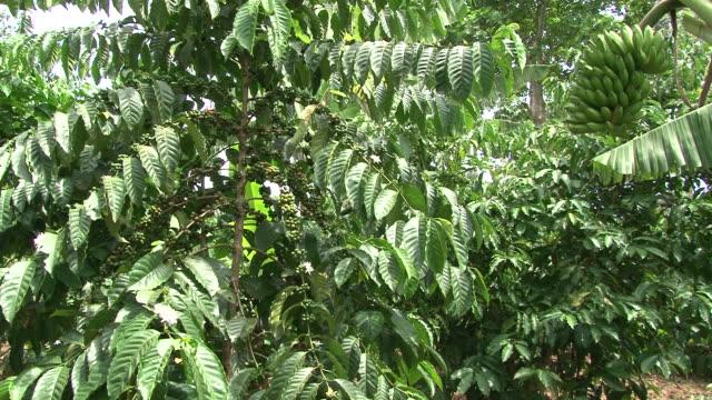 Fairtrade コーヒー豆で、エクアドルのコーヒー農園