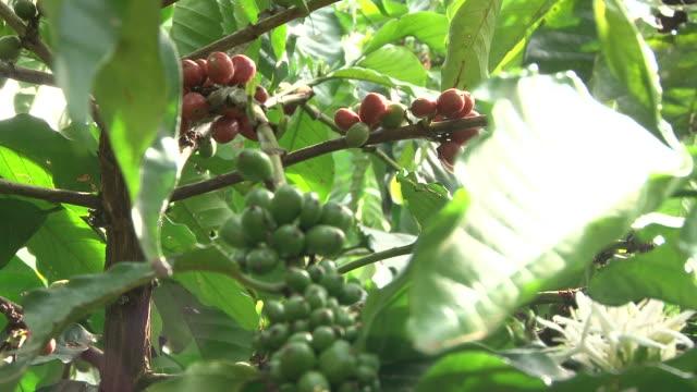 vídeos de stock e filmes b-roll de fairtrade grãos de café no café-plantation em equador - colheita