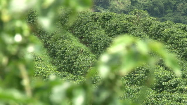stockvideo's en b-roll-footage met fairtrade coffee plantation in brazil - geroosterde koffieboon