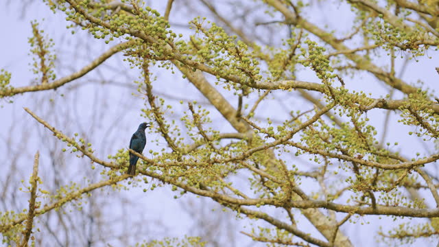 fairy blue bird perched on a tree in kaziranga national park - super slow motion stock videos & royalty-free footage