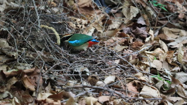 fairy pitta (korea natural monument 204) feeding baby birds - piccolo video stock e b–roll