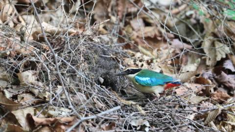 fairy pitta (korea natural monument 204) feeding baby birds - jungvogel stock-videos und b-roll-filmmaterial