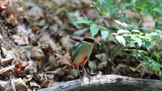 fairy pitta (korea natural monument 204) holding feed - bird watching stock videos & royalty-free footage