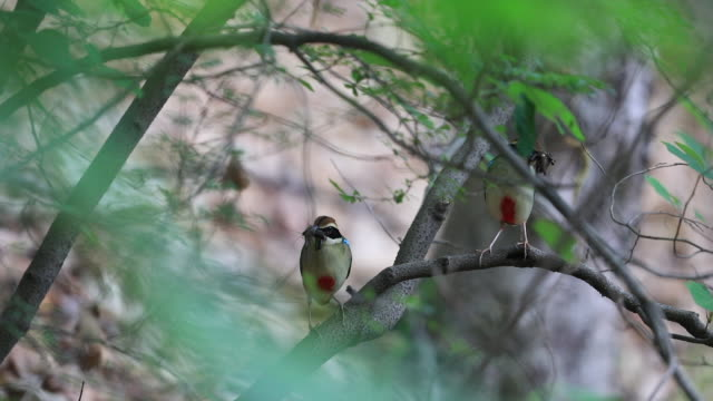 fairy pittas (korea natural monument 204) holding feed - bird watching stock videos & royalty-free footage