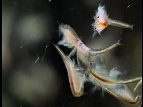 fairy shrimps swim around one another. - struttura cellulare video stock e b–roll