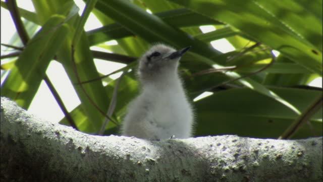 ms fairy tern (sterna nereis) chick on branch of pandanus tree (pandanus spiralis) / henderson island, pitcairn - dragon tree stock videos & royalty-free footage