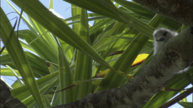 ms pan la fairy tern (sterna nereis) chick on branch of pandanus tree (pandanus spiralis) / henderson island, pitcairn - dragon tree stock videos & royalty-free footage