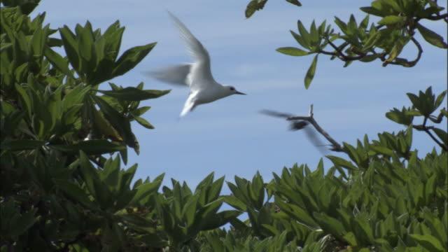 ws fairy tern (sterna nereis) flying above tree / ducie island, pitcairn - dragon tree stock videos & royalty-free footage