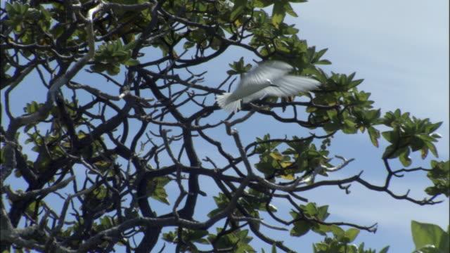 ws ts fairy tern (sterna nereis) flying and landing on tree / ducie island, pitcairn - dragon tree stock videos & royalty-free footage