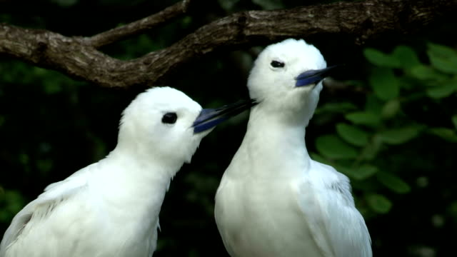 a fairy tern grooms another tern during a bonding ritual. - seychelles stock videos & royalty-free footage