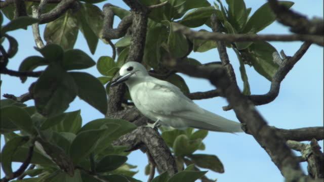 ws fairy tern (sterna nereis) holding fish perching on tree / henderson island, pitcairn - dragon tree stock videos & royalty-free footage