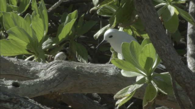 ms zi fairy tern (sterna nereis) incubating egg on tree / ducie island, pitcairn - dragon tree stock videos & royalty-free footage