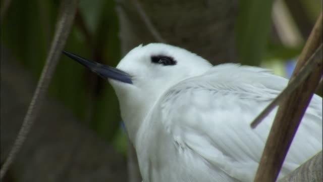 cu la fairy tern (sterna nereis) on branch of pandanus tree (pandanus spiralis) / henderson island, pitcairn - dragon tree stock videos & royalty-free footage