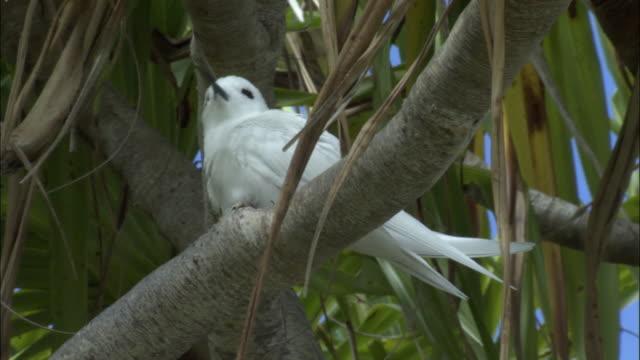 ms la fairy tern (sterna nereis) on branch of pandanus tree (pandanus spiralis) / henderson island, pitcairn - dragon tree stock videos & royalty-free footage