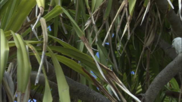 tu ws la fairy tern (sterna nereis) on branch of pandanus tree (pandanus spiralis) / henderson island, pitcairn - dragon tree stock videos & royalty-free footage