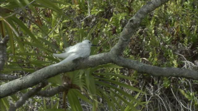 ws la fairy tern (sterna nereis) on branch of pandanus tree (pandanus spiralis) / henderson island, pitcairn - dragon tree stock videos & royalty-free footage