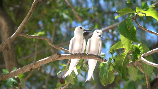 Fairy Terns in the forest, Seychelles