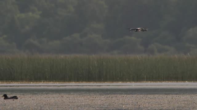 falcated duck och drone-khingan naturreservat - andfågel bildbanksvideor och videomaterial från bakom kulisserna