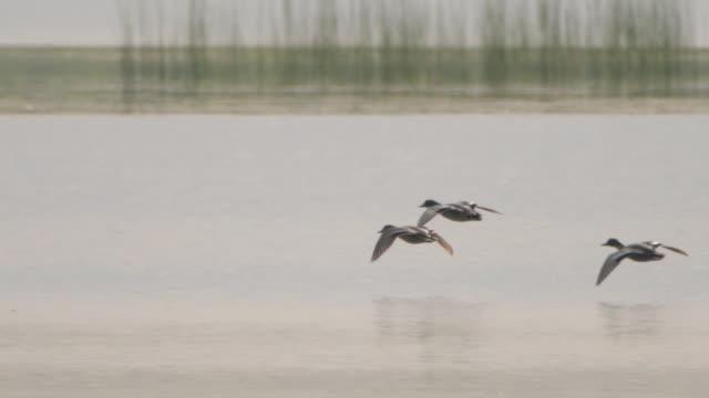 ファルカモまたはファルトティール(マレカファルカタ) - ヒンガン自然保護区 - 鳥 カモ点の映像素材/bロール