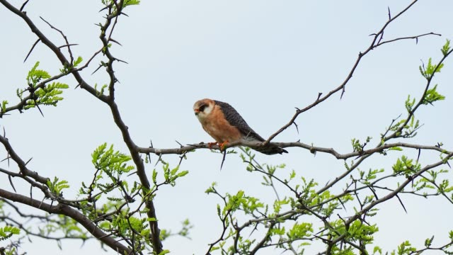 falcon bird perching on tree branch. red-footed falcon - zoology stock videos & royalty-free footage