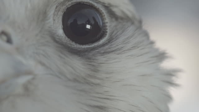 ecu falcon, eye, eyelid, blinking - eyelid stock videos and b-roll footage
