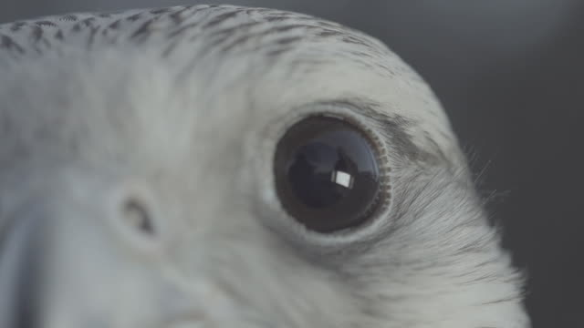 ECU falcon, eyes