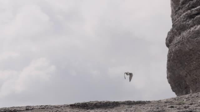 vídeos y material grabado en eventos de stock de w/s falcon flying to camera - halcón