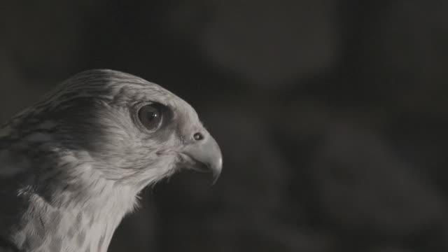 c/u slomo falcon in ancient ruins, blinking, taking off - hawk bird stock videos & royalty-free footage