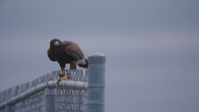 falcon on fence watches prey and flies away - fence stock videos & royalty-free footage