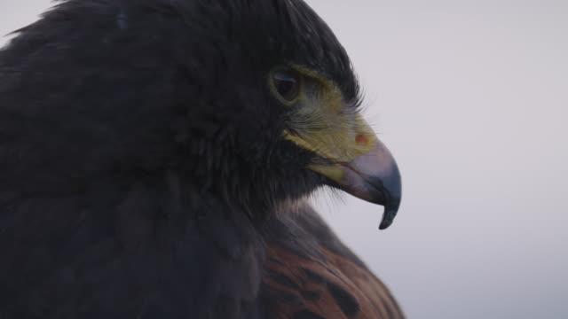 CU of falcon