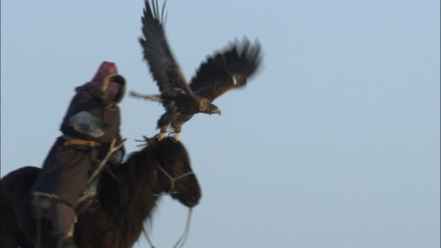 stockvideo's en b-roll-footage met falconer hunts with golden eagle (aquila chrysaetos), jiakuerte, china - oost azië