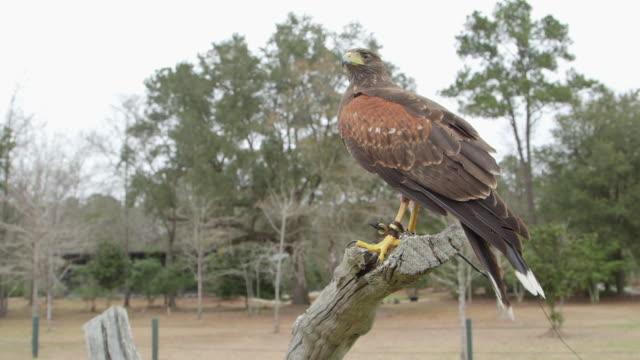 falconing bird landing then taking off - wiese stock videos & royalty-free footage