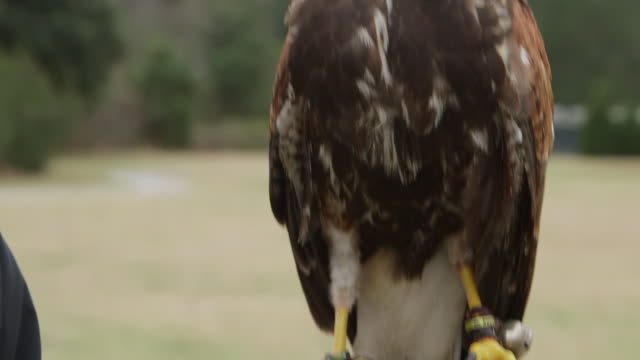 falconing bird on gloved hand cu - wiese stock videos & royalty-free footage