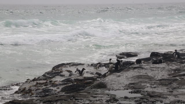 Falkland Islands, Saunders Island, a flock of Rockhopper penguins taking a bath in a small pond on the rocky coastline