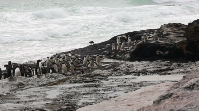 falkland islands, saunders island, a flock of rockhopper penguins approaching the camera fast on the rocky coastline - audio available stock videos & royalty-free footage