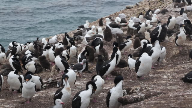 Falkland Islands, Saunders Island, a mixed colony of Rockhopper penguins, Black-browed albatross and Imperial shags. Some juveniles