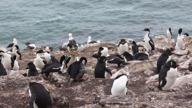 falkland islands, saunders island, a mixed colony of rockhopper penguins, black-browed albatross and imperial shags. an adult shag is carrying nesting materials - audio available stock videos & royalty-free footage