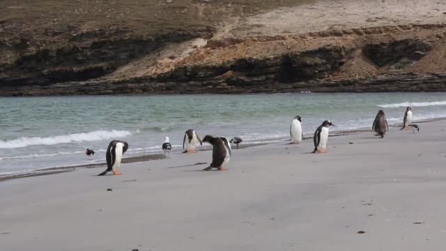 vídeos y material grabado en eventos de stock de falkland islands, saunders island, gentoo penguins, kelp gulls, dolphin gulls, magellanic oystercatchers on the sandy beac - pingüino