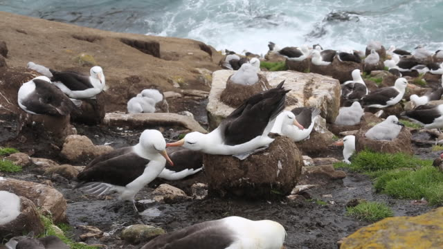Falkland Islands, Saunders Island, one pair of Black-browed albatross courting, standing in the nest, some juveniles in the background