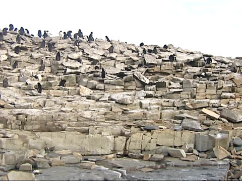penguins and seals falkland penguins walking and standing on rocks and slate terrain / penguins on rock with cross at top of rock / penguins jumping... - slate rock stock videos and b-roll footage