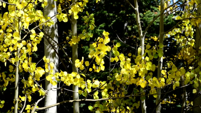 fall aspen in summit county, colorado - aspen tree stock videos and b-roll footage