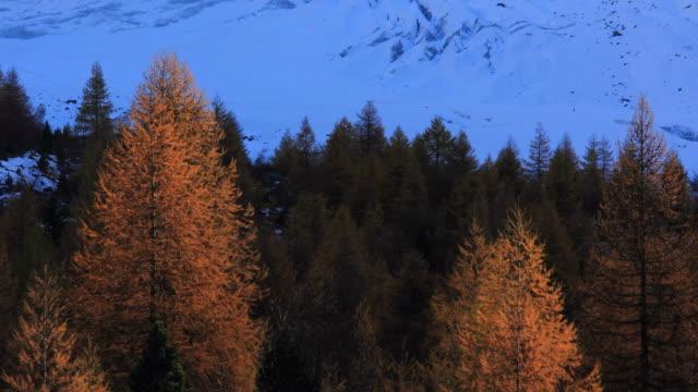 vídeos de stock, filmes e b-roll de fall colored larch trees in alpine region, light falling on trees - árvore de folha caduca