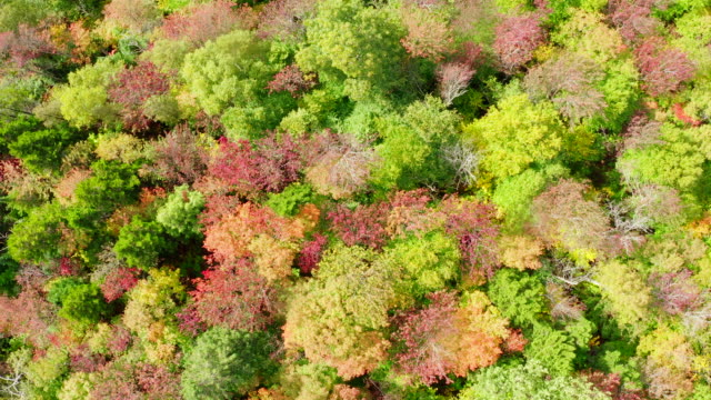 aerial fall colors of a forest in autumn season, quebec, canada - treetop stock videos & royalty-free footage