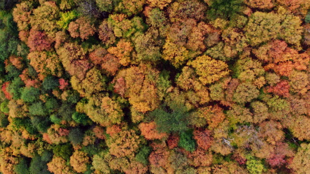 aerial fall colors of a forest in autumn season, quebec, canada - foglia video stock e b–roll