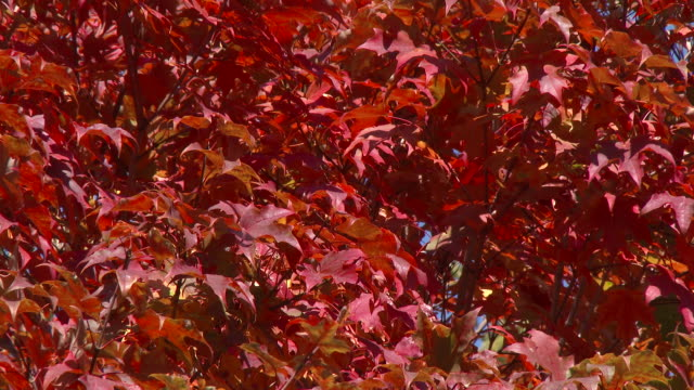 fall colors peaking in flushing meadows park - queens nyc - flushing meadows corona park stock videos and b-roll footage