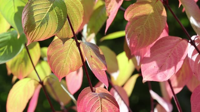 fall colours on a dogwood tree in ambleside, lake district, uk. - dogwood stock videos & royalty-free footage